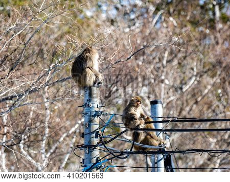 A Japanese Macaque, Macaca Fuscata, On A Power Pole In Shiga Kogen, A Ski Resort And Nature Preserve