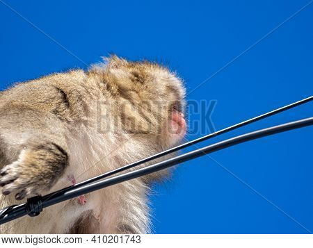 A Japanese Macaque, Macaca Fuscata, On Power Lines In Shiga Kogen, A Ski Resort And Nature Preserve