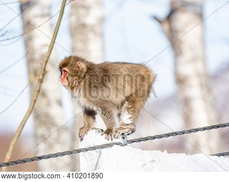 A Japanese Macaque, Macaca Fuscata, On A Barrier Beside A Road In Shiga Kogen, A Ski Resort And Natu