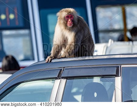 A Japanese Macaque, Macaca Fuscata, Sitting On A Car Roof In A Parking Lot At Shiga Kogen, A Ski Res