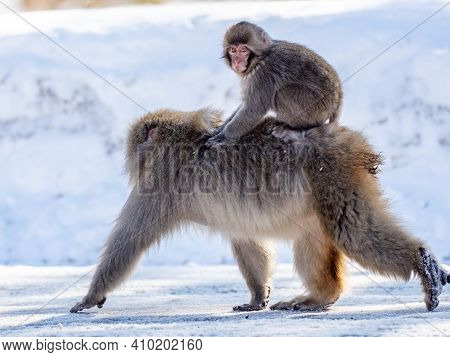 A Japanese Macaque, Macaca Fuscata, On The Road In Shiga Kogen, A Ski Resort And Nature Preserve In