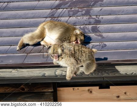 A Pair Of Young Japanese Macaques, Macaca Fuscata, Play Fighting On The Roof Of A Small Building In