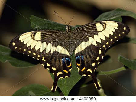 Large Swallowtail Butterfly