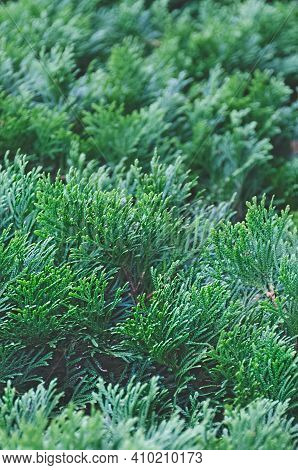 Thuja Branches Close-up. Green Background Of Coniferous With Shallow Depth Of Field. Forest Tree Blu