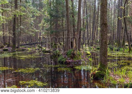 Springtime Alder-bog Forest With Water Flooded Trees, Bialowieza Forest, Poland, Europe