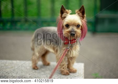 A Small Yorkshire Terrier With A Stylish Haircut From Groomers. The Puppy Has Pink-purple Hair. Colo