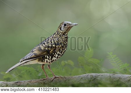 White's Thrush (zoothera Aurea) Mysterious Bird Mixed Of White Brown And Black Feathers Perching On