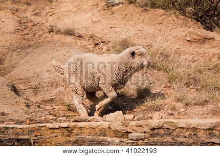 Sheep running over rocky area to join the rest of his herd poster