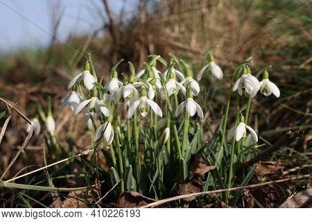 The Beautiful Snowdrop Flower Dissolves In The Spring