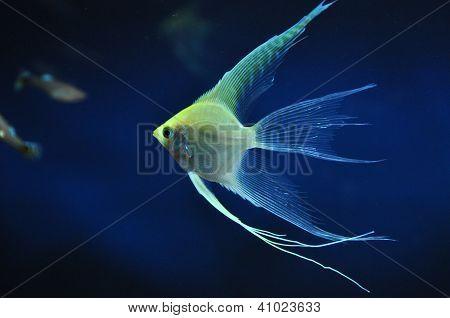 yellow angelfish