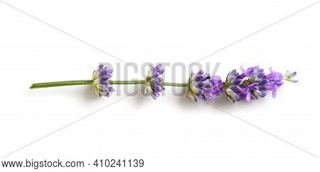 Lavender Flower Isolated On A White Background. Flat Lay