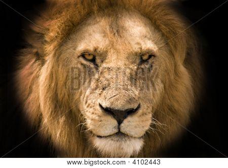 Lion Black Background