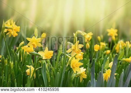 Yellow Daffodil Flower Lit By Sunlight In Spring Garden. Easter, Springtime Background