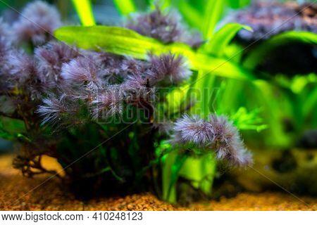 Detail Of Black Beard Algae Or Brush Algae (audouinella Sp., Rhodochorton Sp.) Growing On Aquarium P