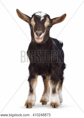Cute Brown Baby Goat, Standing Facing Front. Looking Straight To Camera Showing Both Eyes. Isolated