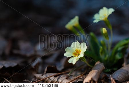 White Primrose Flowers In The Forest Closeup Image Of First Spring Flowers That Growing In The Fores