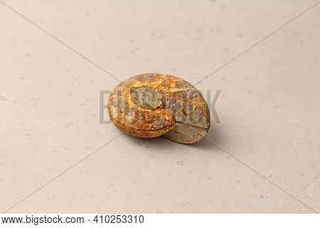 Ammonite Fossil Shell. Whole Of An Ancient Ammonite Lie On A Light Background. Whole Of A Sawn Ammon