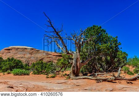 Dry Tree Against The Background Of An Eroded Landscape, Arches National Park, Moab, Utah, Us