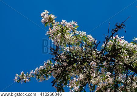 Branch Of Flowering Prunus Sargentii, Commonly Known As Sargents Cherry Or North Japanese Hill Cherr