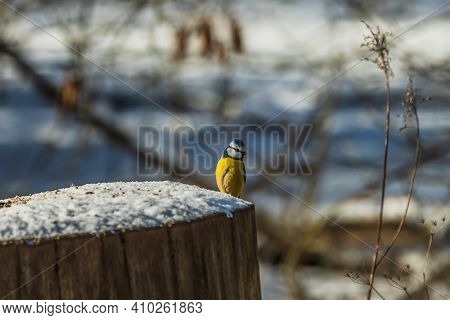 Blue Tit Sits On A Snow-covered Log In The Sunshine. Bird With Blue White Yellow Feathers. Songbird