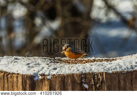 Bird Woodpecker Tit With Grain In Its Beak In Winter Landscape. Snow-covered Log With Songbird In Th