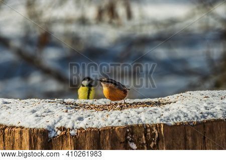 Two Birds On Tree Trunk In Winter In Sunshine. Woodpecker Tit With Blue And Yellow-orange Feathers I