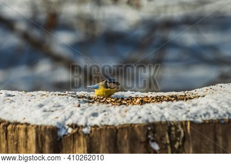 Blue Tit In Winter In Sunshine. Bird With Cereal Grain In Its Beak. Snow-covered Tree Trunk With Bir