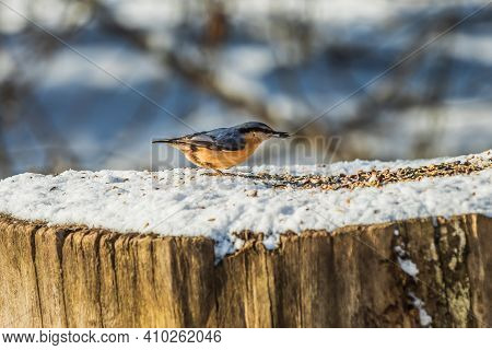 Woodpecker Tit With Grain In Its Beak. Bird In Winter In Sunshine. Nuthatch Stands On Snow-covered T