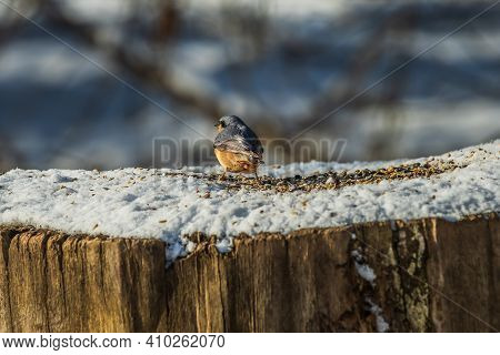 Nuthatch In Winter On Snow. Rear View Of The Bird With Gray-blue And Yellow-orange Feathers. Bird Se