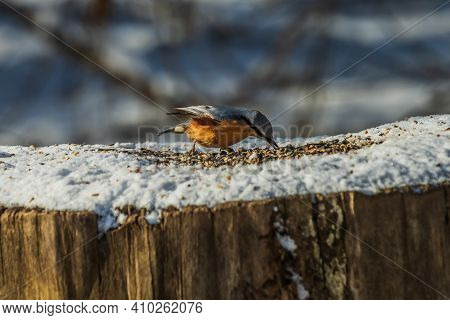 Woodpecker Tit In Winter On Snow. Bird From The Side With Gray-blue And Yellow-orange Feathers. Bird