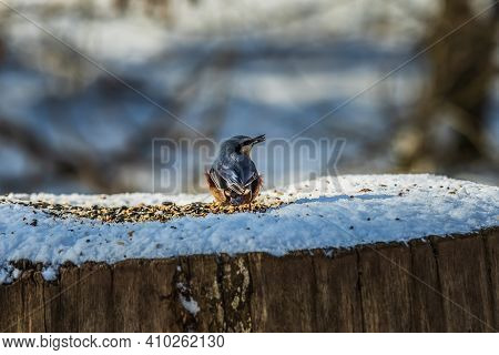Bird In Winter. Woodpecker Tit With Blue-gray And Yellow-orange Feathers Looks Sideways With Food In