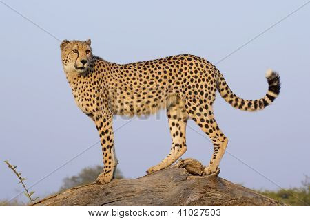 Male Cheetah (acinonyx Jubatus), South Africa