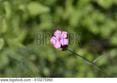 Croatian Carnation Pink Flowers - Latin Name - Dianthus Giganteus Subsp. Croaticus