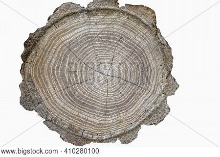 Big Tree Trunk Slice Cut From The Woods Isolated On White Background. Textured Surface With Rings An