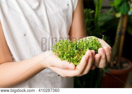 Girl Hands Holding Micro Green Sprouts, Close Up. Raw Arugula Sprouts. Fresh Juicy Sprouts Of Arugul