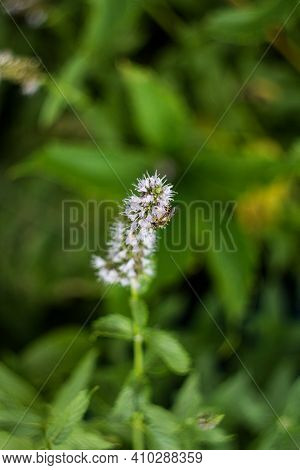 Clusters Of Small Purple Flowers Of Japanese Mint, Corn Mint, Field Mint (mentha Canadensis) Are Blo