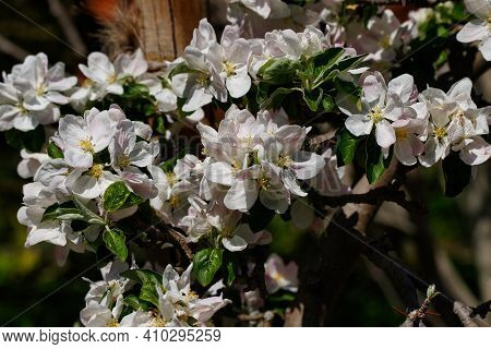 Flowering Malus Sylvestris The European Crab Apple In The Spring Garden. Photography Of Lively Natur
