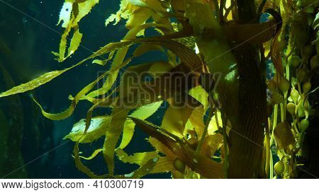 Light Rays Filter Through A Giant Kelp Forest. Macrocystis Pyrifera. Diving, Aquarium And Marine Con