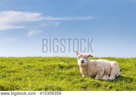 Little Lamb Resting In Green Grass In The Sun On A Dyke At The Wadden Island Texel In The Netherland