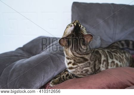 Looks To The Side In Profile. Purebred Bengal Cat, Leopard Color. Photo Of A Cat Sitting In The Stud