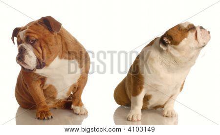 Bulldog Argument