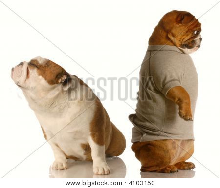 Bulldog In Argument