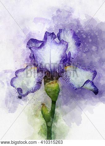 Watercolor Illustration Iris Flower. Purple Iris In Watercolor. Botanical Illustration.
