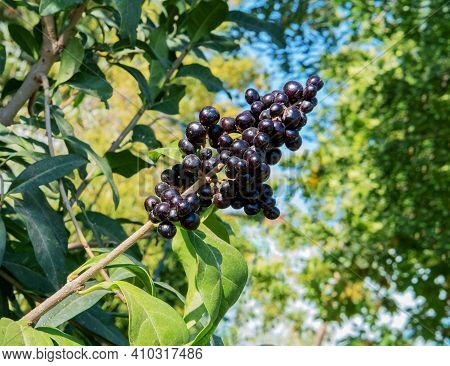 Phytolacca Americana, The American Pokeweed Or Simply Pokeweed, Is A Herbaceous Perennial Plant In T