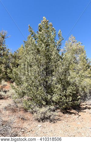 Pinyon Pine (Pinus monophylla) in the San Bernardino National Forest. The seeds, commonly called pine nuts, were an important source of food for native Americans.