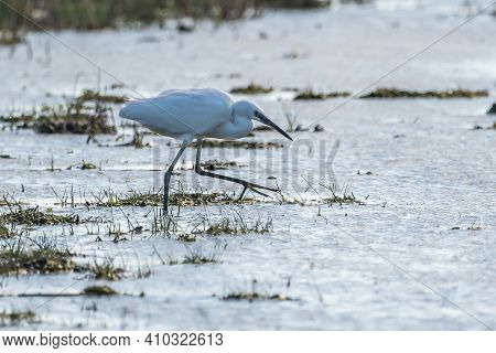 Little Egret (egretta Garzetta) At Sunset In The Natural Park Of The Marshes Of Ampurdán.