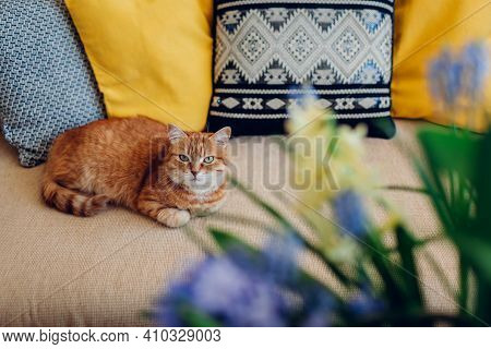 Ginger Cat Lying On Couch With Yellow And Grey Cushions In Living Room By Blue Flowers. Pet Relaxing