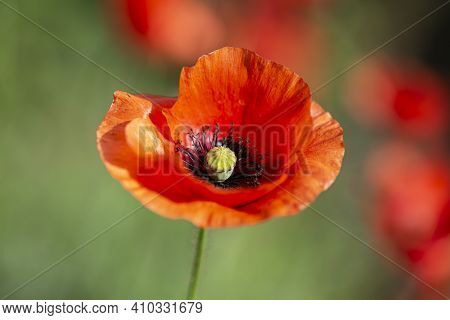 Poppy Flower On A Background Of Green Grass, Blooming Poppy, Red Poppy, Flowering Poppy On A Backgro