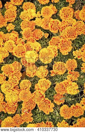 Healing Herbs. Blooming Texture. Beautiful Orange Red Marigold Flowers Leaves Background Pattern. Ma