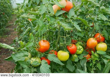 Many Bunches With Ripe Red And Unripe Green Tomatoes That Growing In Film Greenhouse, Perspective An